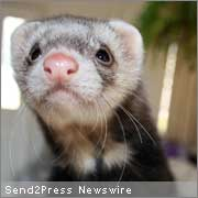 a paper on the legalization of ferrets as pets in california Contact gavin newsom and ask him to support ferret legalization  legalize ferrets in ca  california, 91944.