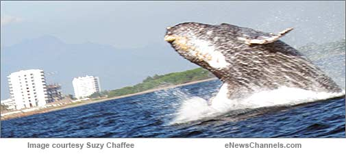 Humpback whale - credit: Suzy Chaffee